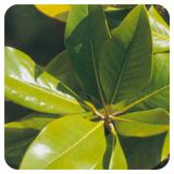 Pranarom Aceite Esencial Naranjo Amargo 10 ml